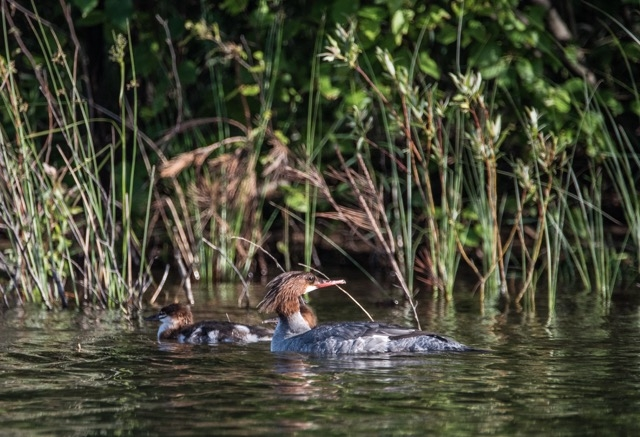 July_4th_2016_Moonlake_Merganser
